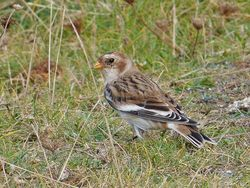 Snow Bunting photographed at Chouet [CHO] on 29/9/2016. Photo: © Min Henry