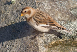 Snow Bunting photographed at Chouet [CHO] on 30/9/2016. Photo: © Rod Ferbrache