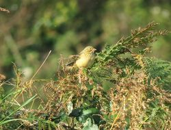 Ortolan Bunting photographed at Icart [ICA] on 2/10/2016. Photo: © Jamie Hooper