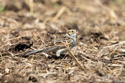 Lapland Bunting photographed at Rue des Hougues, STA [H04] on 4/10/2016. Photo: © Andy Marquis