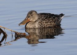 Shoveler photographed at Claire Mare [CLA] on 5/10/2016. Photo: © Julie Davis