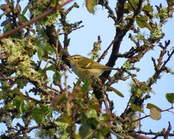Yellow-browed Warbler photographed at Vaux de Monel [MON] on 16/10/2016. Photo: © Mark Guppy