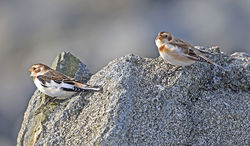 Snow Bunting photographed at Fort Le Crocq [FLC] on 17/10/2016. Photo: © Mike Cunningham
