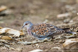 Turtle Dove photographed at Mt. Herault [MHE] on 27/10/2016. Photo: © Andy Marquis