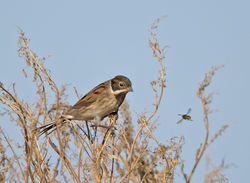 Reed Bunting photographed at Pleinmont [PLE] on 25/10/2016. Photo: © Mike Cunningham