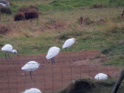 Cattle Egret photographed at Colin Best NR [CNR] on 4/11/2016. Photo: © Mark Guppy