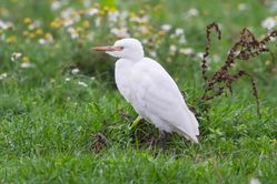 Cattle Egret photographed at Colin Best NR [CNR] on 4/11/2016. Photo: © Adrian Gidney