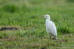 Cattle Egret photographed at Les Vauxbelets [VAX] on 5/11/2016. Photo: © Andy Marquis