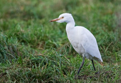 Cattle Egret photographed at Les Vauxbelets [VAX] on 5/11/2016. Photo: © Anthony Loaring