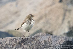 Water Pipit photographed at Fort Le Crocq on 6/11/2016. Photo: © Andy Marquis