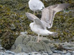 Yellow-legged Gull photographed at Perelle [PER] on 8/11/2016. Photo: © Jamie Hooper