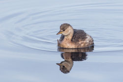 Little Grebe photographed at Claire Mare [CLA] on 11/11/2016. Photo: © Rod Ferbrache