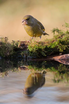 Greenfinch photographed at Bas Capelles [BAS] on 28/11/2016. Photo: © Rod Ferbrache