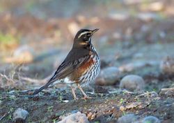 Redwing photographed at St Peters Village [SPW] on 28/11/2016. Photo: © Mike Cunningham