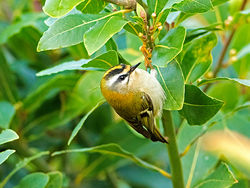 Firecrest photographed at St Peter Port [SPP] on 1/12/2016. Photo: © Mike Cunningham