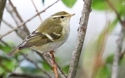 Yellow-browed Warbler photographed at Rousse [ROU] on 8/10/2016. Photo: ©   Rockdweller