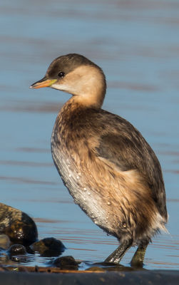 Little Grebe photographed at Claire Mare [CLA] on 1/12/2016. Photo: ©   Rockdweller