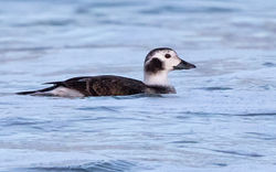 Long-tailed Duck photographed at Pembroke [PEM] on 17/12/2016. Photo: © Anthony Loaring