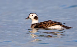 Long-tailed Duck photographed at Jaonneuse [JAO] on 18/12/2016. Photo: © Anthony Loaring