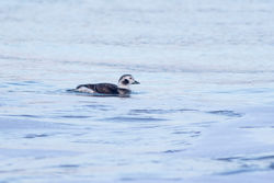 Long-tailed Duck photographed at L'Ancresse [LAN] on 20/12/2016. Photo: © Rod Ferbrache
