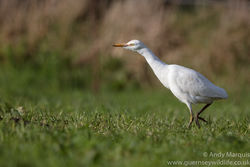 Cattle Egret photographed at Fauxquets Valley [FAU] on 22/12/2016. Photo: © Andy Marquis