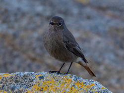 Black Redstart photographed at Pulias [PUL] on 22/12/2016. Photo: © Mike Cunningham