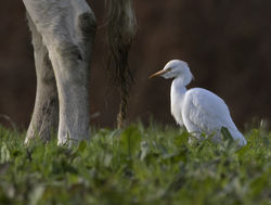 Cattle Egret photographed at Fauxquets Valley [FAU] on 22/12/2016. Photo: © Mike Cunningham