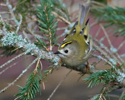 Goldcrest photographed at St Peter Port [SPP] on 26/12/2016. Photo: © Mike Cunningham