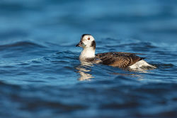 Long-tailed Duck photographed at Jaonneuse [JAO] on 28/12/2016. Photo: © steve levrier