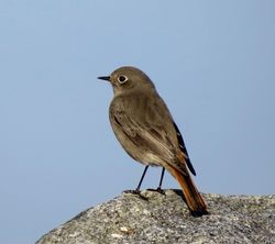 Black Redstart photographed at Port Grat [POG] on 31/12/2016. Photo: © Mark Guppy