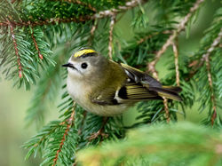 Goldcrest photographed at St Peter Port [SPP] on 2/1/2017. Photo: © Mike Cunningham