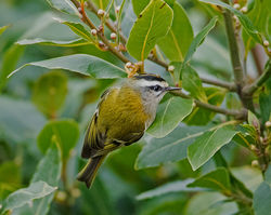 Firecrest photographed at St Peter Port [SPP] on 10/1/2017. Photo: © Mike Cunningham