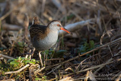 Water Rail photographed at Grands Marais/Pre [PRE] on 22/1/2017. Photo: © Andy Marquis