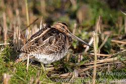 Snipe photographed at Grands Marais/Pre [PRE] on 22/1/2017. Photo: © Andy Marquis