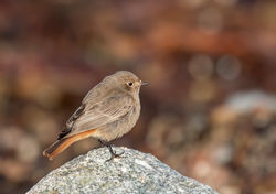 Black Redstart photographed at Shingle Bank [SHI] on 26/1/2017. Photo: © Barry Wells