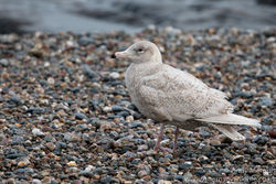 Glaucous Gull photographed at Chouet [CHO] on 4/2/2017. Photo: © Andy Marquis