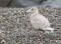 Glaucous Gull photographed at Chouet [CHO] on 4/2/2017. Photo: © Anthony Loaring