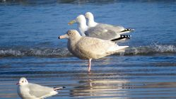 Glaucous Gull photographed at Pembroke [PEM] on 7/2/2017. Photo: © Mark Guppy