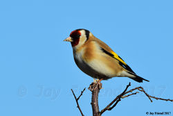 Goldfinch photographed at Rue des Hougues, STA [H04] on 7/2/2017. Photo: © Jay Friend