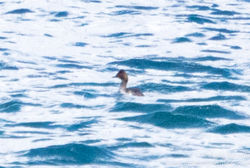 Black-necked Grebe photographed at Belle Greve Bay [BEL] on 15/2/2017. Photo: © Andy Marquis