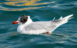 Mediterranean Gull photographed at St Peter Port Harbour on 12/2/2017. Photo: ©  Rockdweller