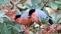 Bullfinch photographed at torteval on 4/1/17. Photo: © Adrian Bott