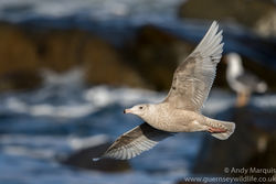 Glaucous Gull photographed at Chouet [CHO] on 4/3/2017. Photo: © Andy Marquis