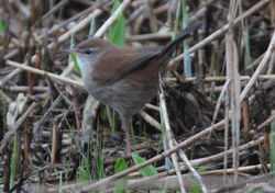 Cetti's Warbler photographed at Claire Mare [CLA] on 12/3/2017. Photo: © Albert Harvey
