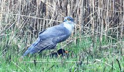 Sparrowhawk photographed at Claire Mare [CLA] on 12/3/2017. Photo: © Adrian Bott