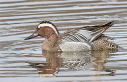 Garganey photographed at Rue des Bergers [BER] on 17/3/2017. Photo: © Anthony Loaring