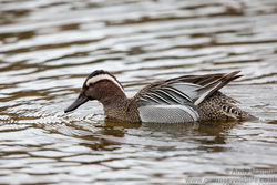 Garganey photographed at Rue des Bergers [BER] on 17/3/2017. Photo: © Andy Marquis