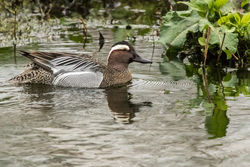 Garganey photographed at Rue des Bergers [BER] on 20/3/2017. Photo: © Rod Ferbrache