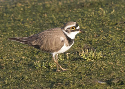 Little Ringed Plover photographed at Colin Best NR [CNR] on 22/3/2017. Photo: © Anthony Loaring