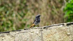 Black Redstart photographed at St Peter in the Wood (Parish) on 26/3/2017. Photo: © Mark Guppy